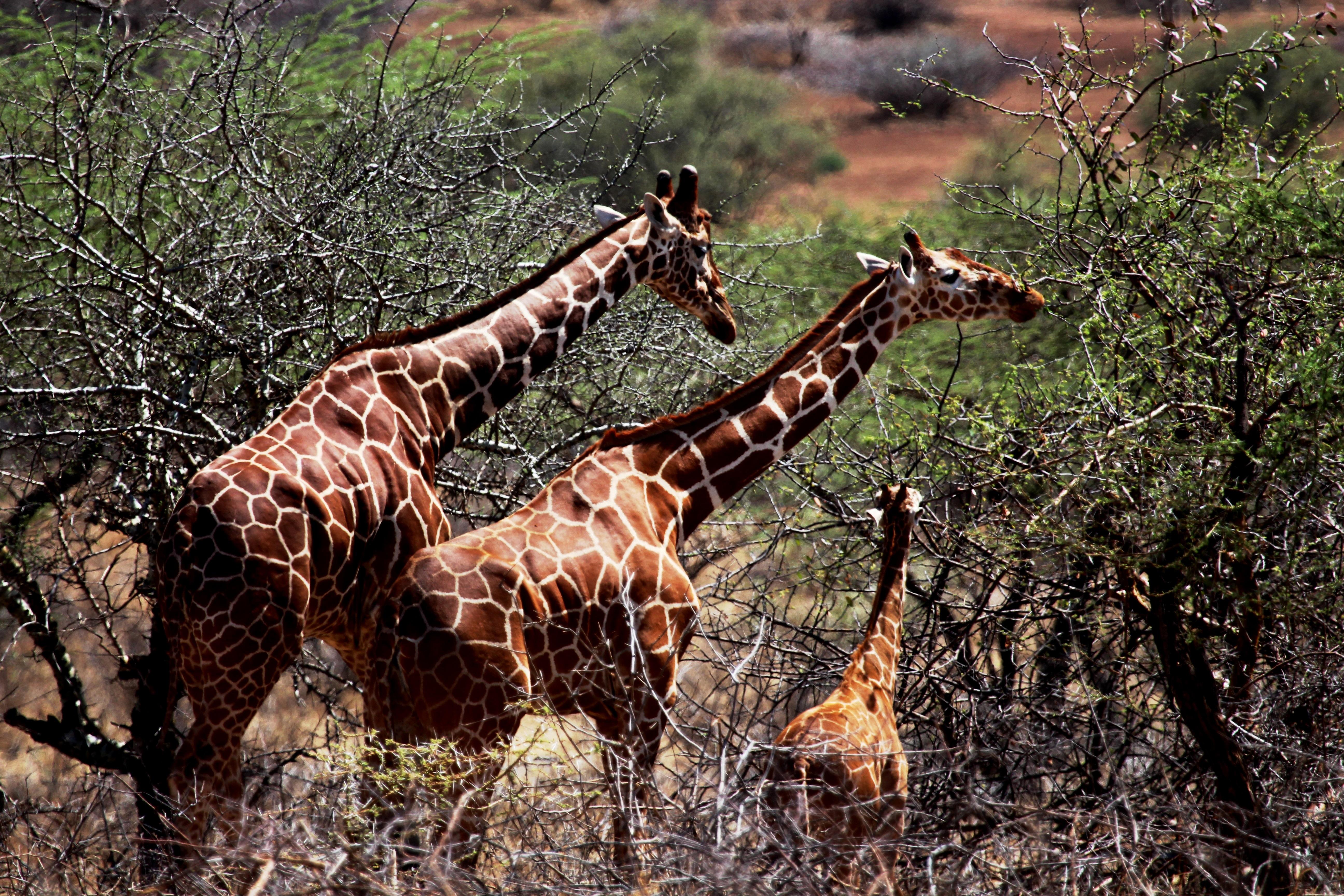 Giraffe in Buleqo Bulesa